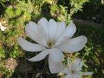 mały biały kwiat magnolii